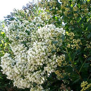 300px-Baccharis-halimifolia-Consultaplantas-wikimedia-commons-compressor