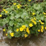 Populage des marais au bord d'un fossé dans le Marais poitevin