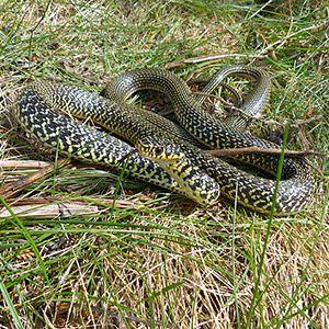 Couleuvre verte et jaune dans le Marais poitevin