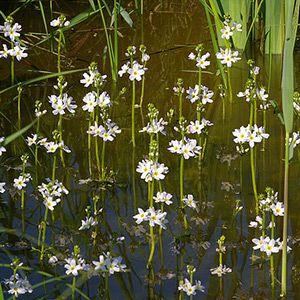 Plante aquatique : Hottonie des marais dans le Marais poitevin