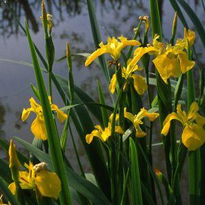 Iris jaune Faux acore dans le Marais poitevin