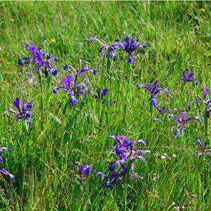 Iris maritime dans une prairie humide subsaumatre du Marais poitevin