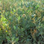 L'Obione faux-pourpier est une plante des prés salés que l'on trouve sur le littoral atlantique (baie de l'Aiguillon) du Marais poitevin.