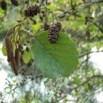 L'Aulne glutineux est un arbre présent dans le Marais poitevin. Il a l'écorce grise et fissurée. Ses feuilles sont arrondies et légèrement dessinées en forme de cœur. Les fruits de l'aulne sont coniques.
