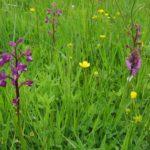 La présence de l'Orchis à feuilles lâches est caractéristique des prairies humides du Marais poitevin. L'espèce est en régression.
