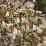 Le Baccharis est une plante envahissante du Marais poitevin. Elle a été introduit dans le Sud Ouest de la France à la fin du 17e siècle. Le Baccharis a progressivement colonisé les côtes françaises dont le Marais poitevin
