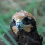 Le Busard des roseaux chasse d'un vol léger à faible hauteur par rapport au sol. Il est présent dans le Marais poitevin