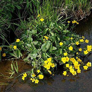 Plante aquatique : Populage des Marais dans le Marais poitevin