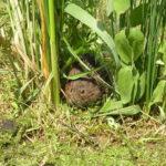 """Campagnol amphibie, également appelé """"rat d'eau"""", était autrefois très présent dans le Marais poitevin"""