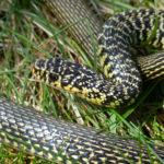 La Couleuvre verte et jaune, présente dans le Marais poitevin, est de couleur vert sombre ou noir, ponctuée de petites taches jaunes.
