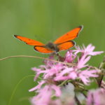 Le Cuivré des marais est un papillon présent dans les prairies naturelles du Marais poitevin. Il tient son nom au rouge doré de ses ailes bordées de noir