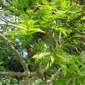 Frêne dans le Marais poitevin