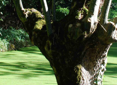 Fête du Frêne têtard à Amuré, arbre emblématique du Marais poitevin