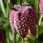 La Fritillaire pintade est semblable à une tulipe avec la tête en bas. Elle ponctue les prairies humides naturelles du marais mouillé du Marais poitevin.