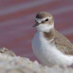 Gravelot à collier interrompu vivant sur les plages de sable des côtes du Marais poitevin