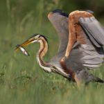 Le Héron pourpré chasse le long des voies d'eau et des terrées du Marais poitevin. Son activité est essentiellement crépusculaire.