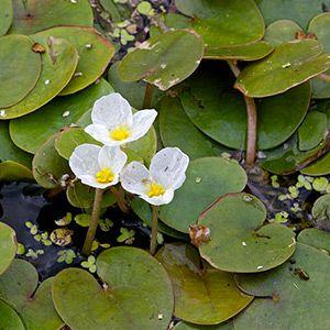 Plante aquatique : Hydrocharis des grenouilles dans le Marais poitevin