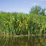 Iris jaune, une plante des rives des cours d'eau du Marais poitevin