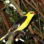 Le Marais poitevin abrite de nombreux Loriots d'Europe. Son plumage est jaune vif, avec les ailes et la queue noires. D'où son surnom de merle d'or.