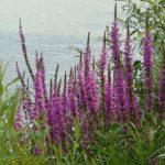 La Salicaire est une grande plante vigoureuse et élancée. Elle s'ouvre en grappes dressées, ses tiges portent à leur extrémité des épis de fleurs pourpres. On en trouve dans le Marais poitevin