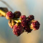 """Le Frêne est un peu l'emblème du marais mouillé du Marais poitevin. Sa silhouette particulière est reconnaissable. Souvent, le Frêne est taillé en """"têtard""""."""