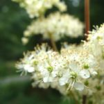 La Reine des prés présente des petites fleurs odorantes de couleur crème réunies en grappes vaporeuses. On le trouve dans le Marais poitevin