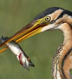Protection du patrimoine naturel dans le Marais poitevin - Héron pourpré