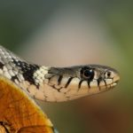 La Couleuvre à collier, présente dans le Marais poitevin, tient son nom de la marque sur son cou. Semi-aquatique elle vit sur la terre ferme et nage très bien