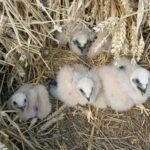 Le Busard cendré est une espèce du Marais poitevin. Il utilise les champs de céréales, en marais et en plaine.