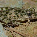 Le Pélodyte ponctué est gris olivâtre persillé de taches vertes. On le trouve dans le Marais poitevin