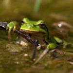 La Rainette verte, espèce vivant dans le Marais poitevin, est une petite grenouille qui se distingue par sa couleur étonnante : vert pomme