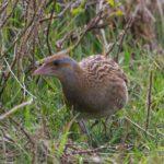 Le Râle des genêts est un oiseau de petite taille, présent dans les prairies du Marais poitevin.