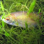 Le Gardon, espèce du Marais poitevin, est un poisson omnivore. Il se nourrit aussi bien de plantes aquatiques, d'algues, que de larves d'insectes, de mollusques, de crustacés...