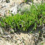 La Salicorne est une plante grasse du Marais poitevin. Elle est comestible.