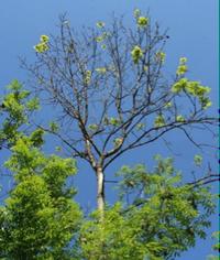 Mortalité des rameaux - Parc naturel régional du Marais poitevin