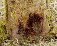 Nécrose à la base de l'arbre ©DSF