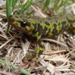 Le Marais poitevin offre de bonnes conditions de vie au Triton marbré. C'est un amphibien qui a l'apparence de lézard mais ce n'est pas un reptile.