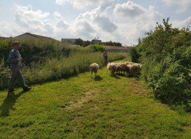 mise à l'herbe de moutons à Chaillé-les-Marais
